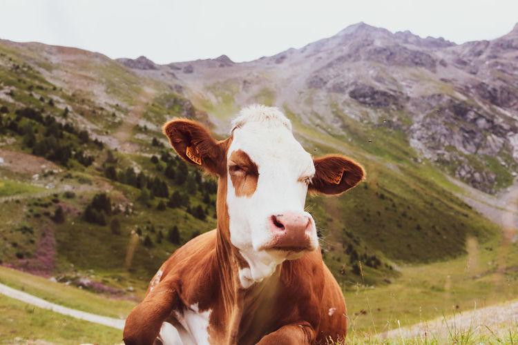 Portrait of cow on landscape