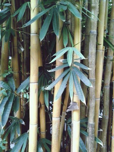 ไผ่สีทอง (Golden bamboo) Nature Hang Dong