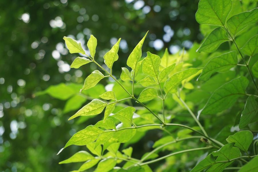 Herb Indian Cork Millingtonia Hortensis Beauty In Nature Branch Close-up Cork Tree Day Evergreen Foliage Freshness Green Color Growth Herbal Leaf Leaves Limb Nature No People Outdoors Plant