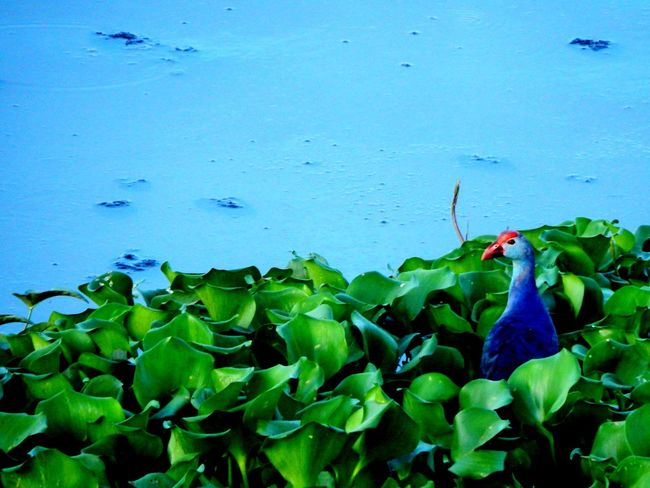 Ponder... Nature Beauty In Nature Leaf Water Blue Green Color Outdoors No People Day Plant Growth Multi Colored Beauty Freshness Cool Nikon CoolpixBird L830 Greenery Plant Nature Pond Pond Life