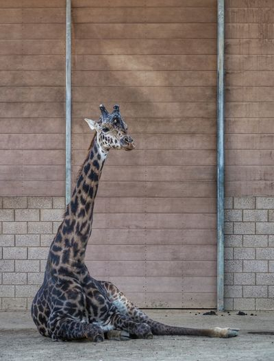 📷✌Zoo Animals  Animals Urban Nature Jirafa San Diego Zoo