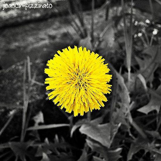Yellow Yellow Ig_contrast_bnw Amateurs_bnw Bnwmood Bnw_kings Bnw_planet Bnw_captures Top_bnw Paulistanobw Bnw_lombardia Instapicten Top_bnw_photo Flowers Nature Plants Blackandwhite Colorsplash_dr Splashmood Splashcolors Colorsplash Monumentalsplash
