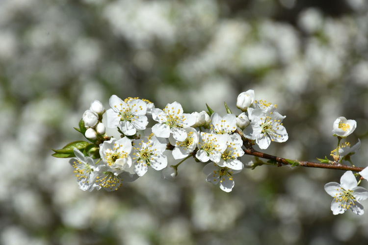 Flowering Plant Flower Freshness Fragility Plant Vulnerability  Beauty In Nature Growth White Color Focus On Foreground Tree No People Close-up Blossom Nature Day Branch Springtime Petal Inflorescence Flower Head Outdoors Cherry Blossom Cherry Tree