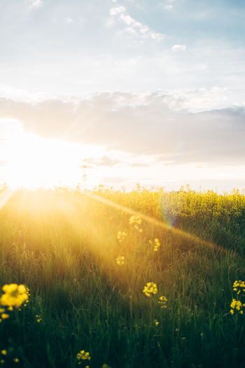 Rape seed field with the sun setting Rapeseed Field Yellow Landscape Beauty In Nature Plant Land Flower Nature Outdoors Sunlight Sun Bright Lens Flare Sunset