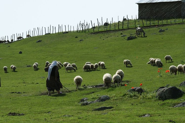 Woman With Sheep Walking On Field