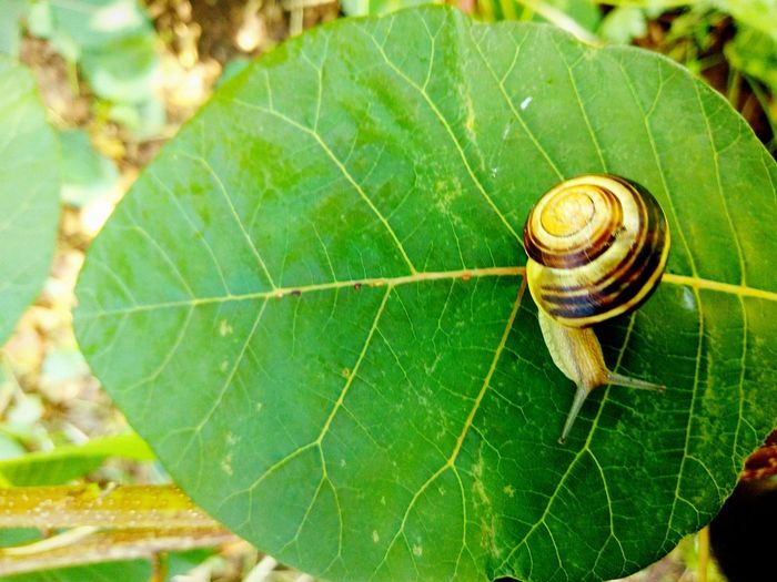 EyeEm Selects leaf face.photo by Shell Sheddy Sheshephoto Beauty In Nature Leaf Outdoors Green Color Nature Snail🐌 Snail Snail Photography Snail Collection Shellsheddyphotography Pet Portraits Be. Ready. Perspectives On Nature Full Frame Closeup Full Length Growth Pace Of Life Nature Photography Nature_collection