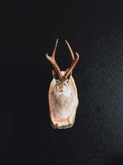 Jackalope antler mounted on wall