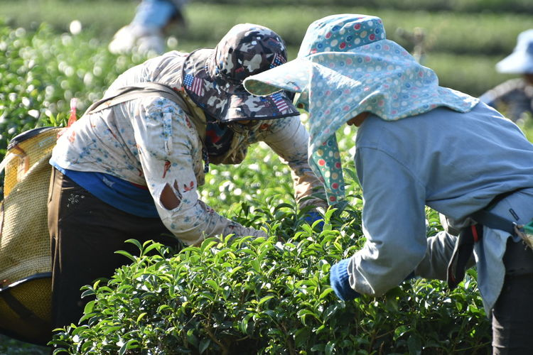 Farmers picking tea leaves at farm