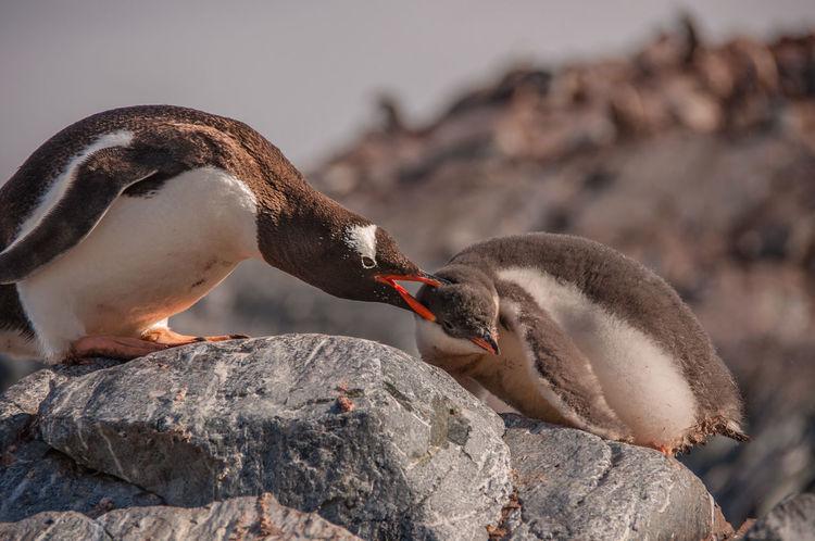 Iceberg Ice Ziwang Ziseetheworld Antarctic Peninsula Antarctica Gentoo  Gentoo Penguin Penguin Gentoo Penguin Chick Penguin Poo Penguin Chick