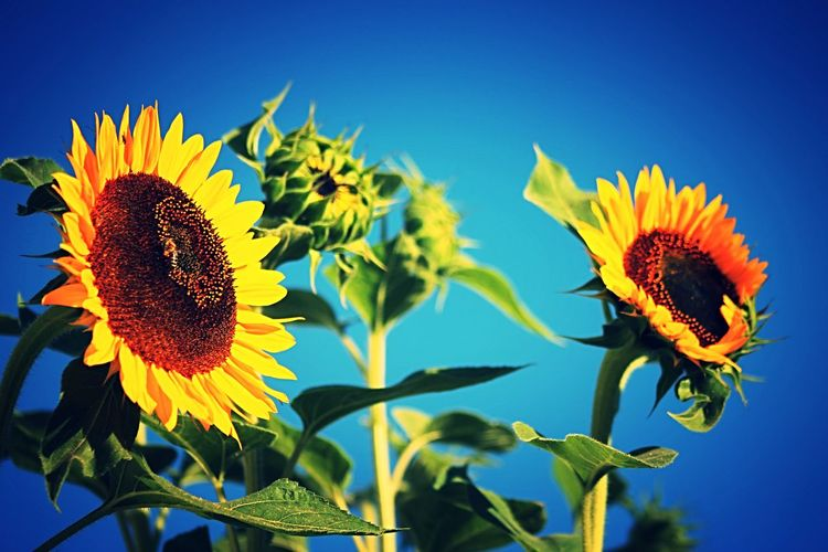 LOW ANGLE VIEW OF SUNFLOWER BLOOMING AGAINST CLEAR BLUE SKY