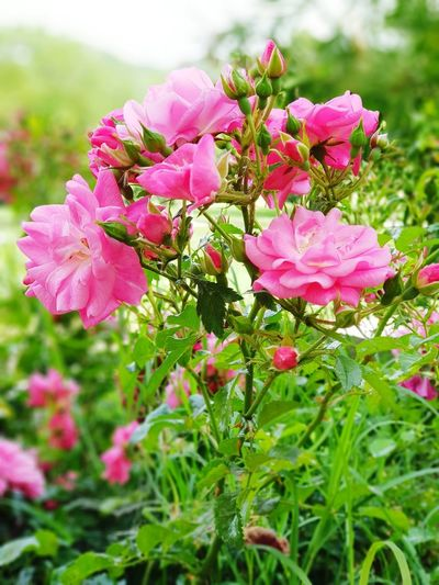 Samsung Galaxy Note 8 Rose Selvatiche Flower Head Flower Peony  Pink Color Petal Springtime Summer Close-up Plant Wild Rose