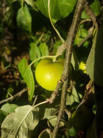 Apfelbaum Tree Fruit Agriculture Leaf Citrus Fruit Vine - Plant Branch Unripe Close-up Plant