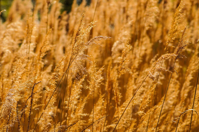 golden cereal plant Golden Cereal Plant Agriculture Crop  Plant Growth Land Field Wheat Nature Farm No People Rural Scene Close-up Day Landscape Backgrounds Outdoors Beauty In Nature Brown Full Frame Oat - Crop