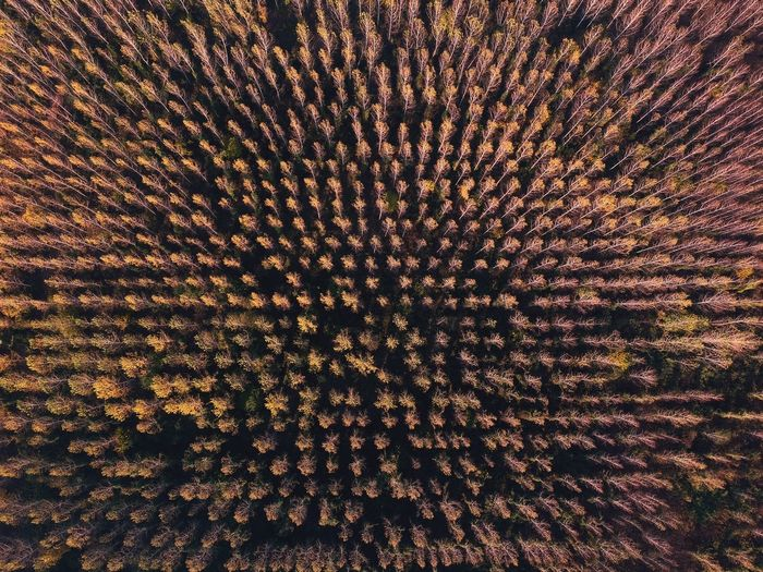 Full frame shot of pine forest
