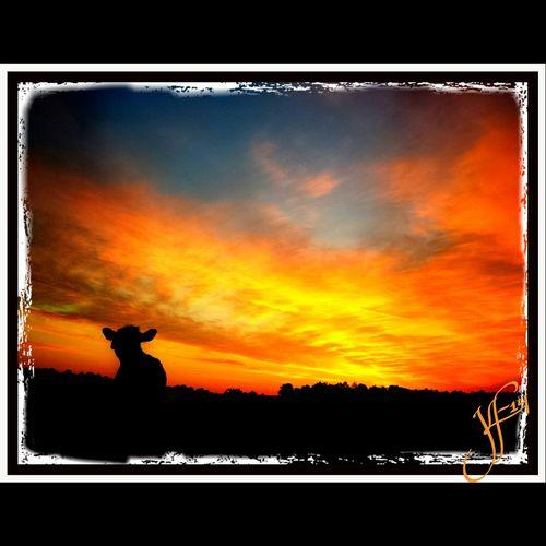Cows Cowlover Feeling Thankful Virginia Angus Farmcountry Virginia Sky Virginiaphotography Agriculture Cattle Farmlife Cattlefarm Cowlove Farm Photography.. Farm Photos Photooftheday FarmPhotography Agriculture Photography Cow Farm Animals Beef Photography Moomoos