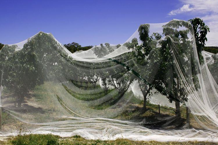 Fruit trees covered with bird netting in the hills of South Australia Agriculture Travel Photography Beauty In Nature Day Farming Fruit Protection Fruit Trees Landscape Nature Net Netting No People Outdoors Rural Scene Scenics Sky