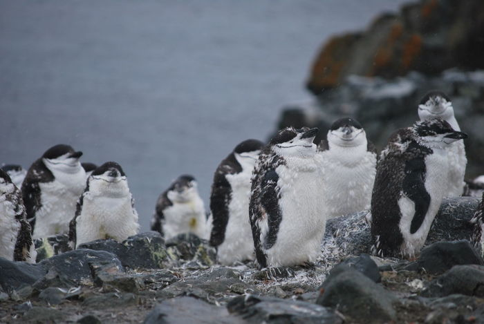 Magic nature in Antarctic Antarctic Antarctica Animal Animal Themes Animal Wildlife Animals In The Wild Antarctic Peninsula Bird Day Focus On Foreground Group Of Animals Land Nature No People Outdoors Penguin Penguins Rock Rock - Object Sea Snow Solid Vertebrate Water Young Animal Young Penguin