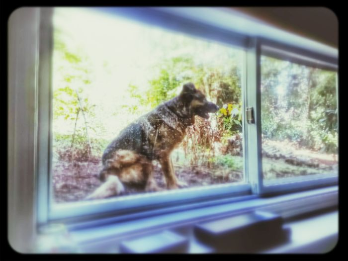 The View From My Window This is my German Shepherd. She is watching me work in the house from the garden. KimberlyJTilley