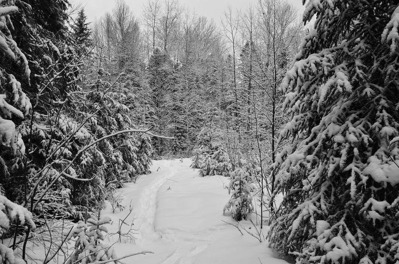Tree Snow Cold Temperature Winter Landscape Sky Pine Woodland Pine Tree Coniferous Tree Deep Snow Powder Snow