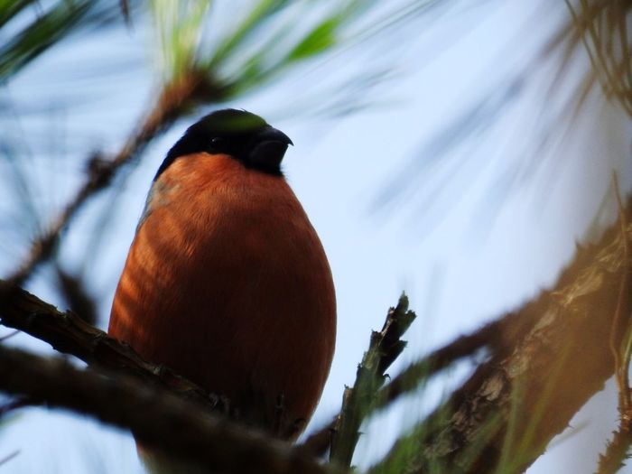 Animal Wildlife One Animal Nature Winter Animals In The Wild Feather  Close-up Outdoors Bird Snow No People Tree Beauty In Nature Day Animal Themes Mammal Bullfinch Evening Roost