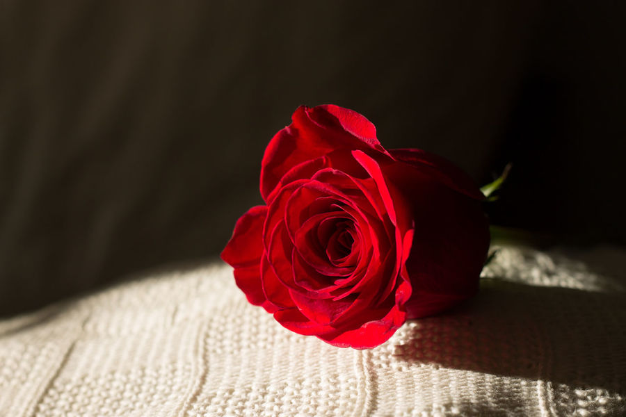 Beauty In Nature Close-up Day Fabric Flower Flower Head Fragility Freshness Indoors  Nature No People Petal Red Rose - Flower Rose Petals