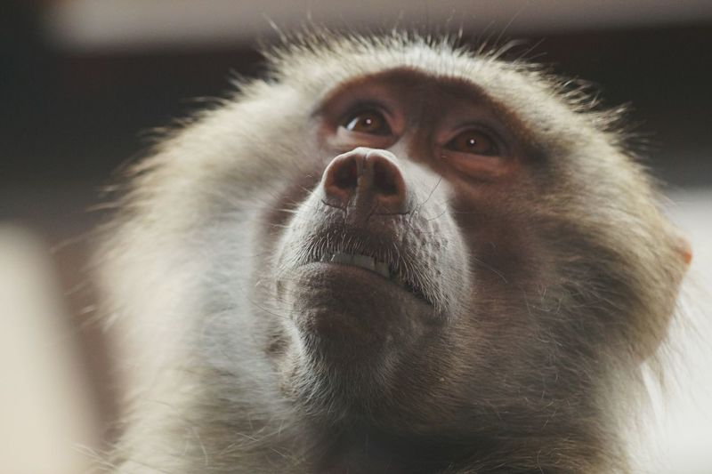 Close-up of hamadryas baboon looking up