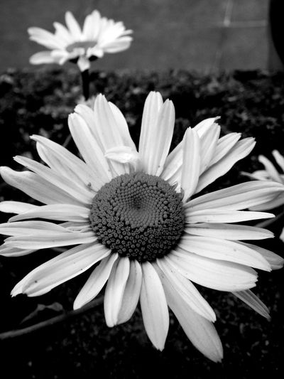 Beauty In Nature Bianco E Nero Black And White Daisy EyeEm Best Shots EyeEm Gallery EyeEm Nature Lover Eyeemphotography Fiori!!! Flower Flower Head Flowers Grey Grigio Margherite Natura Nature Nature_collection Petal Petali