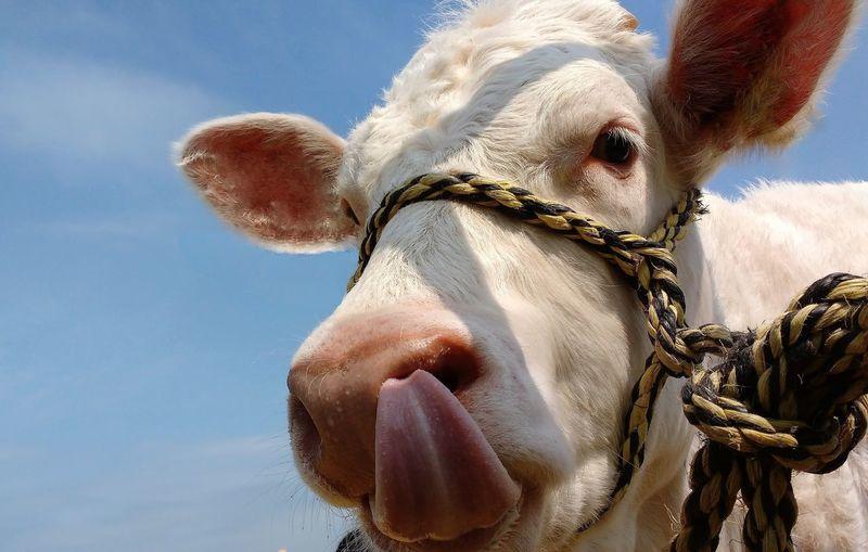 Animal Cattle Close-up Cow Farm Animal Halter Livestock Rope Scotland Tongue