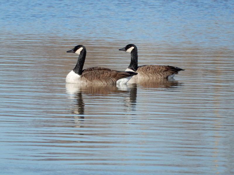 Bird Bird Photography Birds Of EyeEm  Geese Geese Gathering Geese Photography Geesepond Lake
