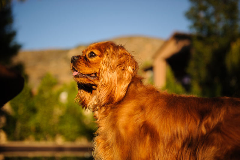 Cavalier king charles spaniel rearing up on retaining wall