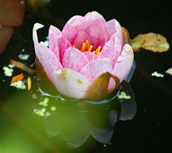 Beauty In Nature Close-up Floating On Water Flower Flower Head Flowering Plant Fragility Freshness Growth Inflorescence Leaf Nature No People Petal Pink Color Plant Plant Part Pond Vulnerability  Water