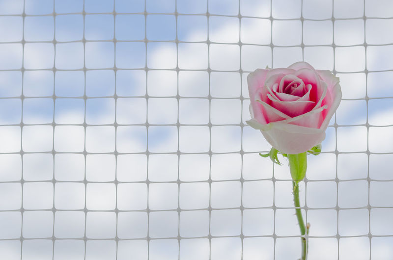 Close-up of pink rose against white wall