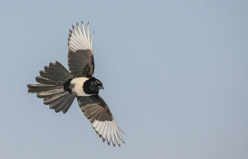 Magpie flight bird wild nature black white blue sky flying wildlife Flying No People Clear Sky Nature Moon Beauty In Nature Outdoors Day Close-up Concentric Sky Living Organism