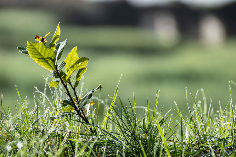 Plant Growth Green Color Nature Plant Part Day Leaf Grass Beauty In Nature Focus On Foreground Field Tranquility Close-up Land Outdoors Selective Focus Tranquil Scene Landscape Copy Space Copy Space Over Nature Freshness Fresh Grass Dew Dew Drops