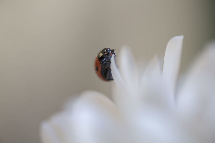 Close-Up Of Ladybug On White Flower