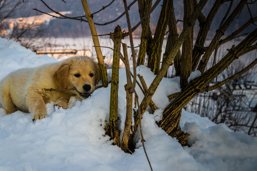 Golden Retriver Golden Retriever MIha Dolenec Pet Photography  Playing In The Snow Tree Winter Animal Themes Cold Temperature Colorful Day Dog Domestic Animals Litle Dog Mammal Nature No People One Animal Outdoors Pets Playing With Animals Snow Sunset Tree Weather Winter