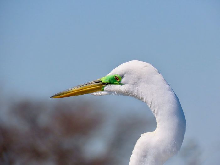 Great egret closeup headshot birdwatching focus on the foreground beauty in nature outdoors Bird Animal Themes Animals In The Wild One Animal White Color No People