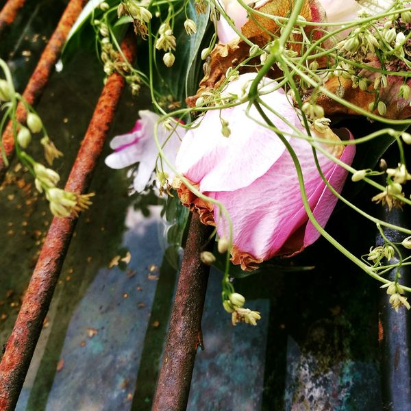 Flower Flowers, Nature And Beauty Romantisk Blomster Flower Photography Roses Nature Summer Flowers Sommer Romantic Flowerporn Decay Dansk Natur Raindrops Spring Springtime Spring Flowers