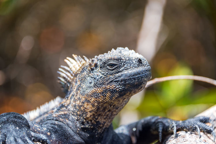 Close-up of a marine iguana