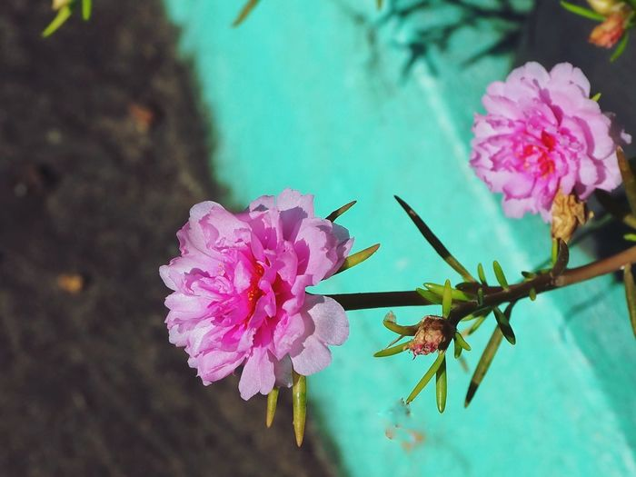 Close up of pink flower blooming Moss Rose Flower Head Flower Pink Color Insect Petal Close-up Plant