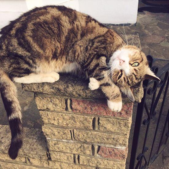 Cat Chilling Fence Neighbor's Cat Pet Stripped Cat Spoiled Cat Happy Cat Chilling Cat Sunbathing Cat