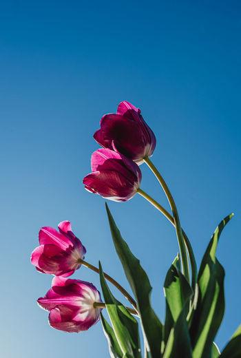 Close-up of pink rose flower against blue sky