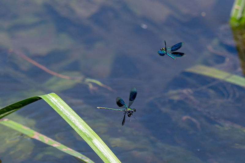 Male banded demoiselle damselfly, calopteryx splendens in flight over a stream