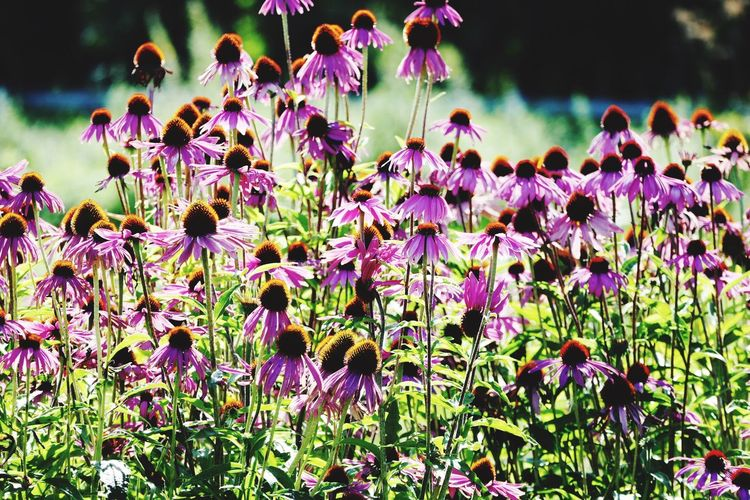 Echinacea Flower Nature Plant Botany Outdoors No People Blooming Cirencester Organic Farm