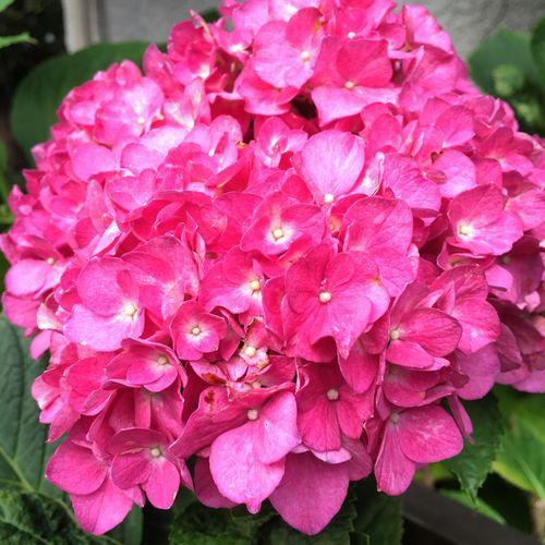 Beautiful PhotobyTaka ✨☺️✨ Flower また 咲いている 紫陽花