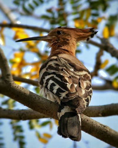 Urban Spring Fever Hoopoe Birds_collection Spring