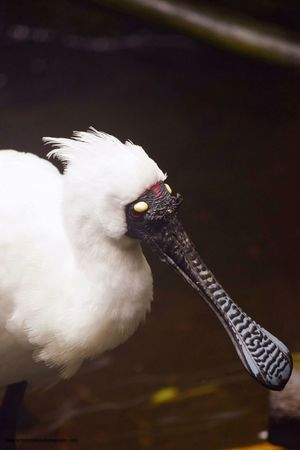 Royal spoonbill Bird Animal Themes One Animal Animals In The Wild Animal Wildlife Beak Close-up Nature Outdoors Beauty In Nature