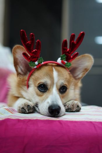 Close-up of cute dog wearing antlers at home