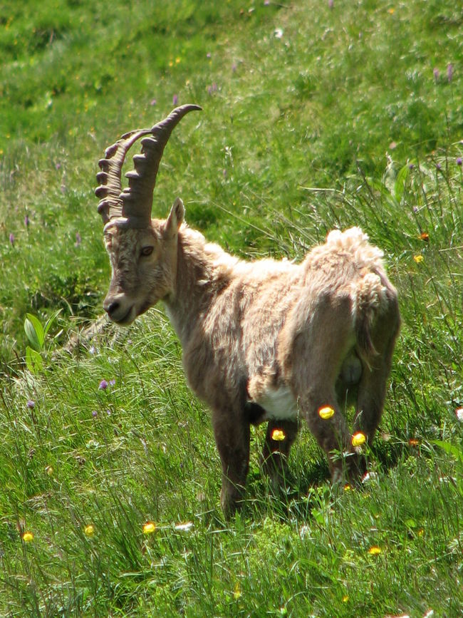 Animal Themes Beatyful Nature Beauty Of Nature Chamois Field Grass Green Color Herbivorous No People One Animal