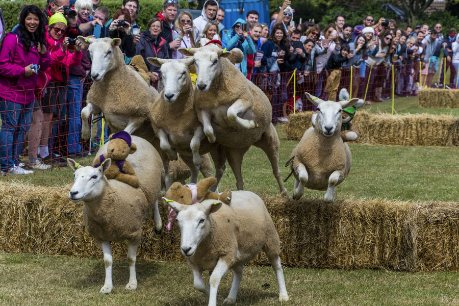 Isle of Sark on the English Channel. The only sheep race in the world. The event is organized once a year by the inhabitants of the island for charity purposes. Racing Agriculture Animal Animal Themes Crowd Domestic Animals Group Of Animals Group Of People Large Group Of People Livestock Outdoors Sark Sheep Sheeps Sheeps Racing Sport The Photojournalist - 2018 EyeEm Awards The Street Photographer - 2018 EyeEm Awards The Traveler - 2018 EyeEm Awards